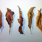 Five Autumn Leaves.
