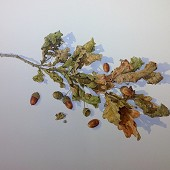 Oak Leaves and Acorns.