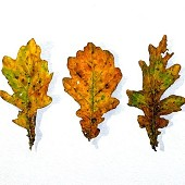 Five Oak Leaves.